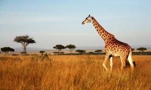 kenya zürafaası